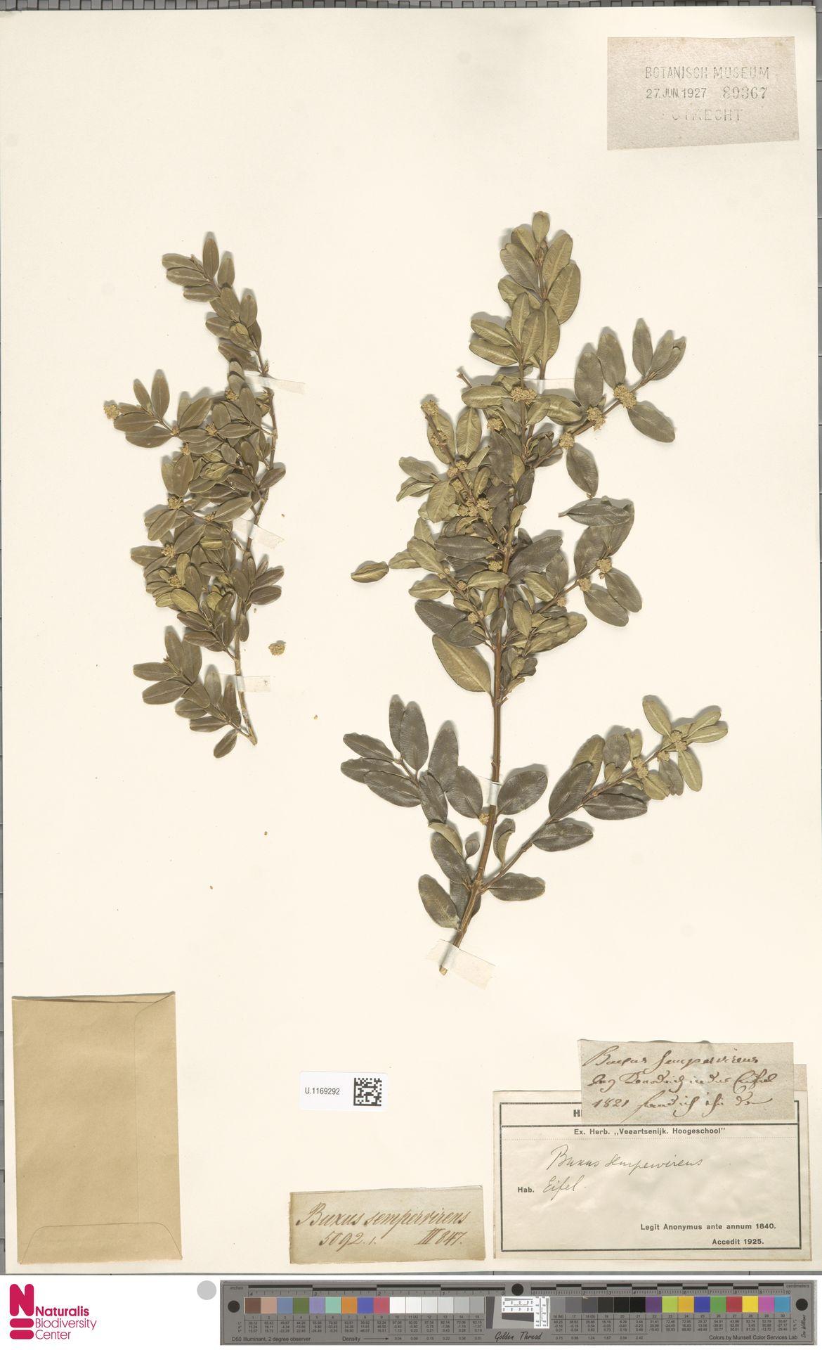 U.1169292 | Buxus sempervirens L.