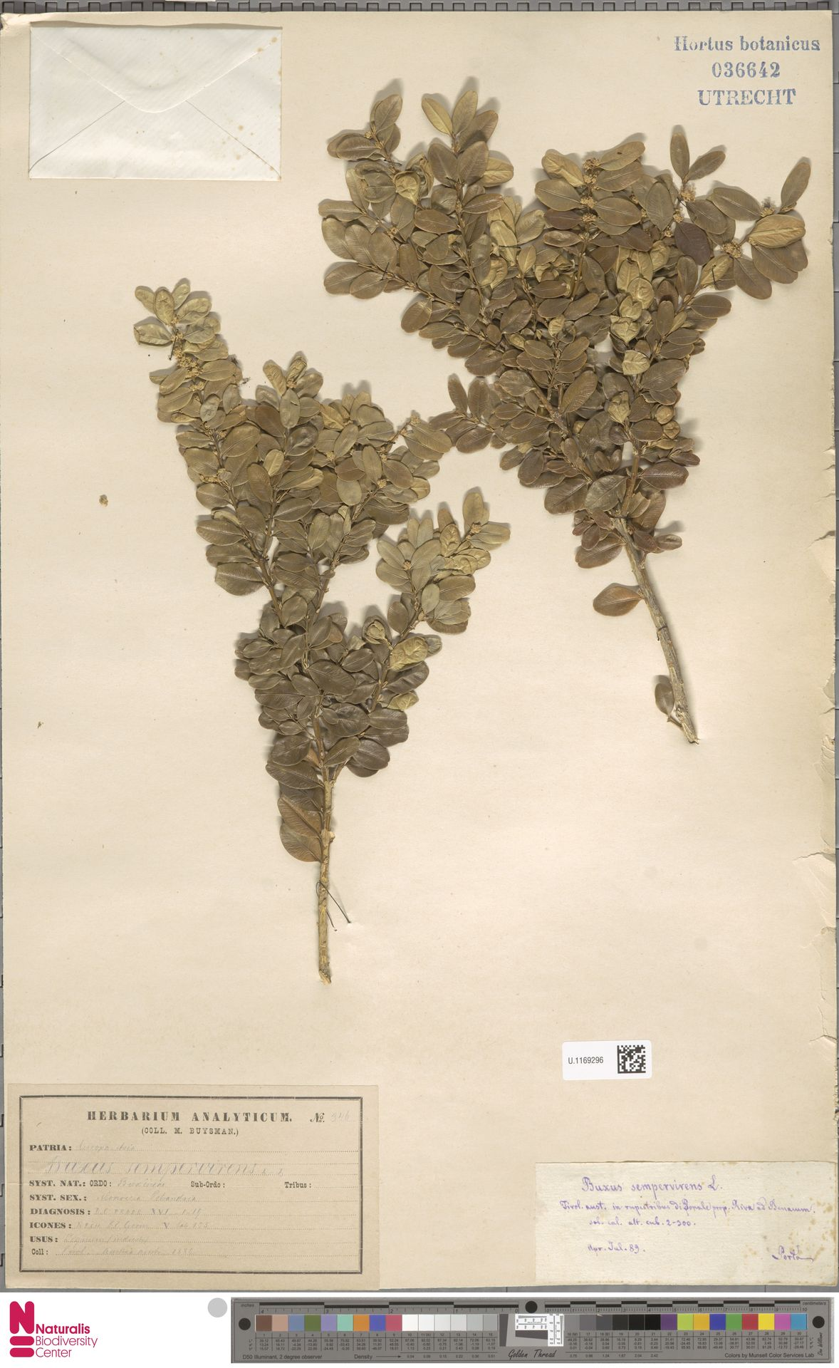 U.1169296 | Buxus sempervirens L.