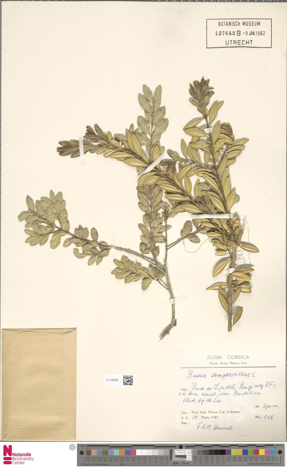 U.1169297 | Buxus sempervirens L.