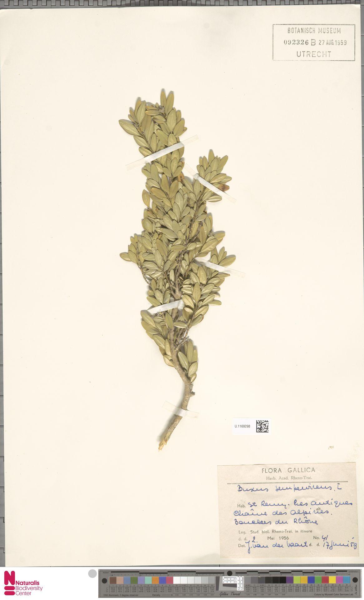 U.1169298 | Buxus sempervirens L.