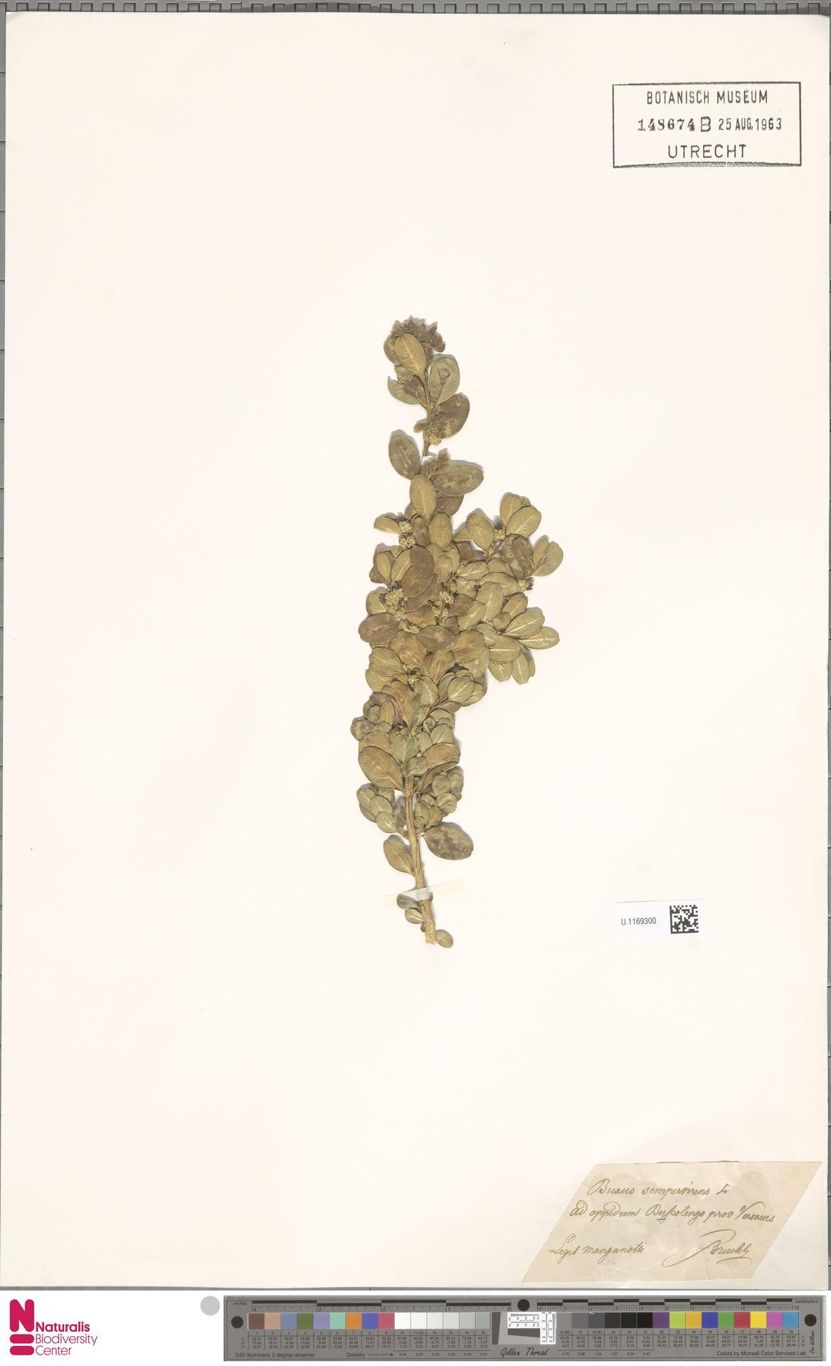 U.1169300 | Buxus sempervirens L.