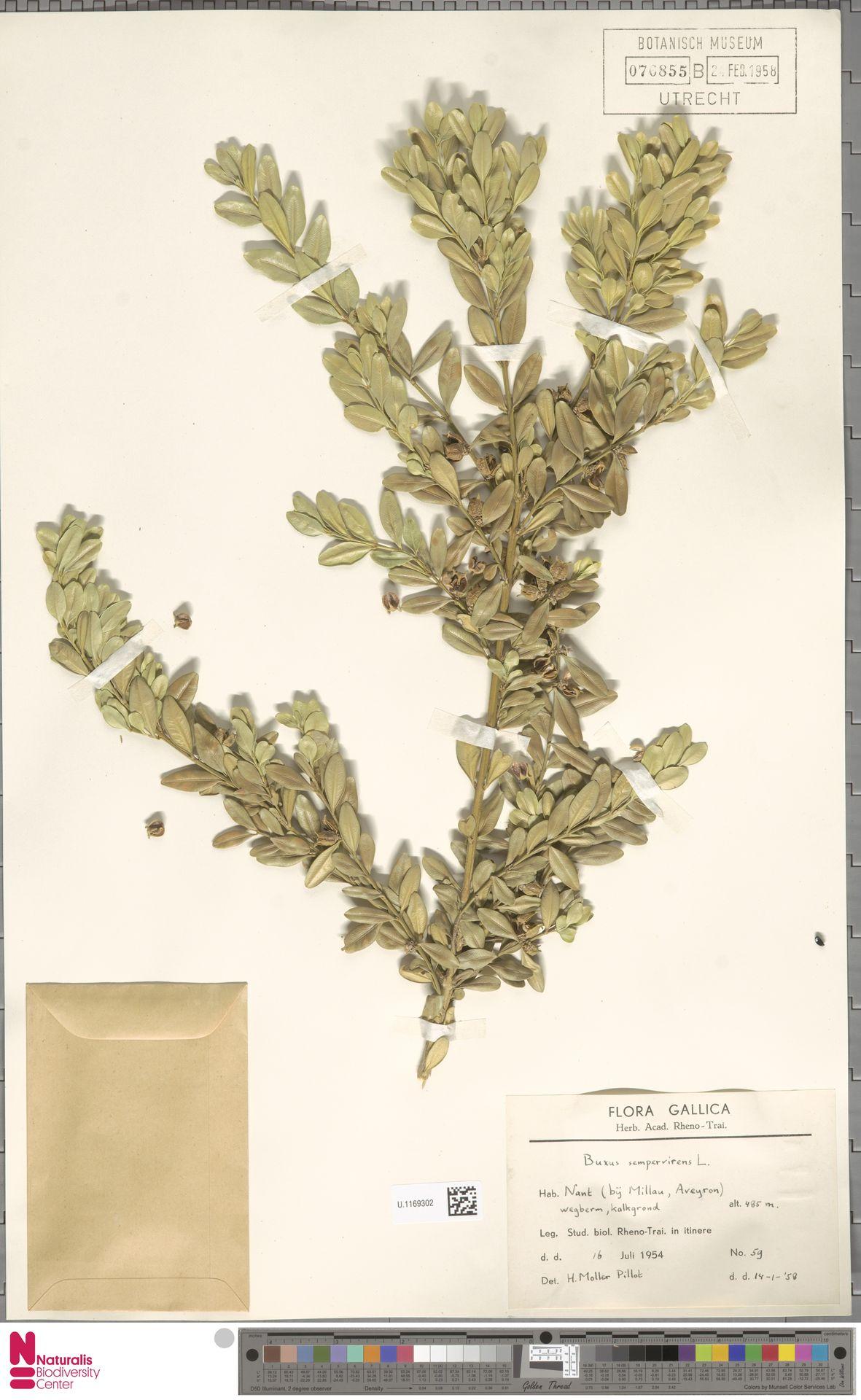 U.1169302 | Buxus sempervirens L.