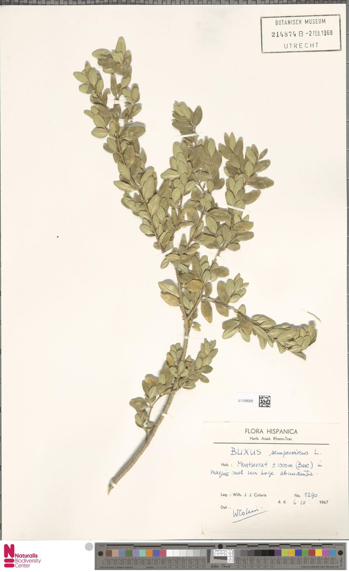 U.1169305   Buxus sempervirens L.
