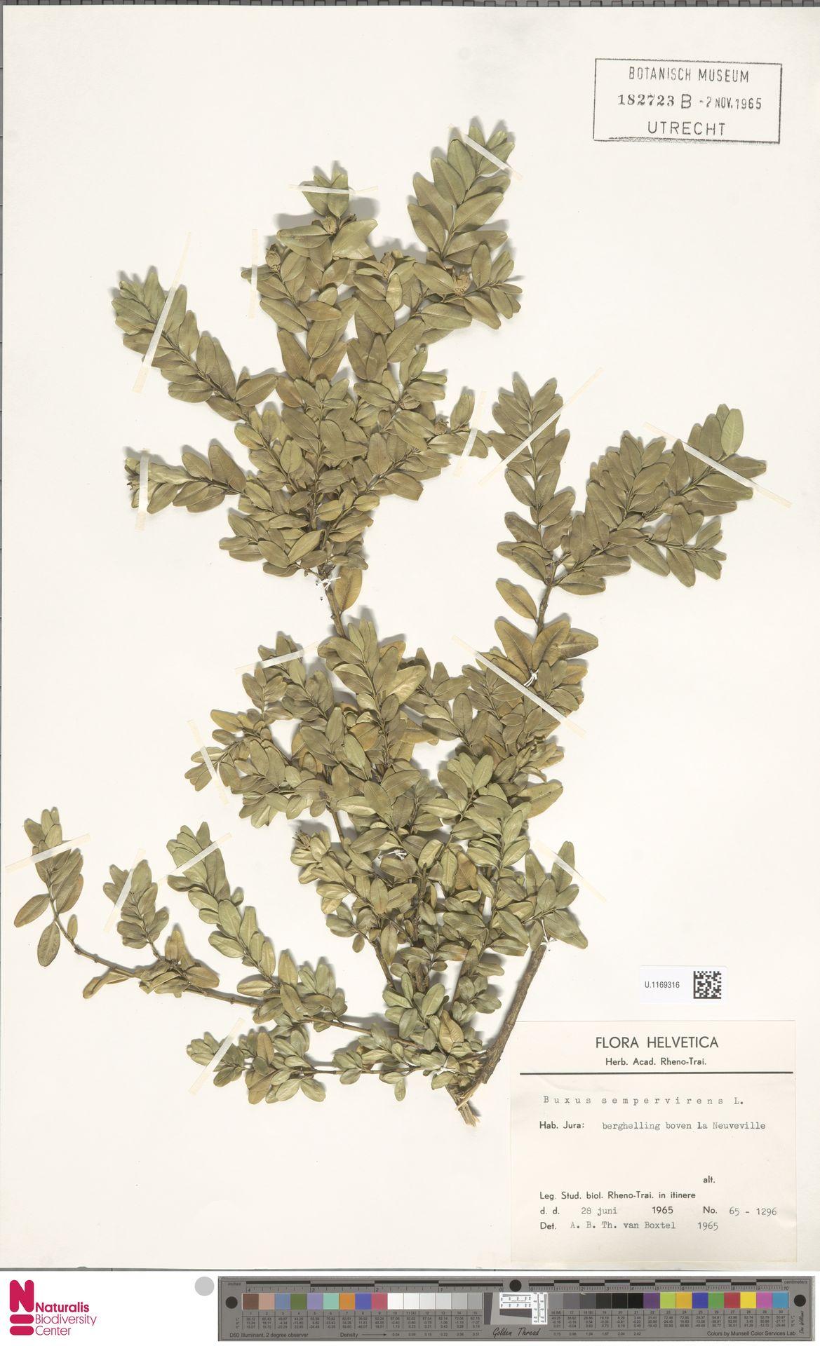 U.1169316 | Buxus sempervirens L.