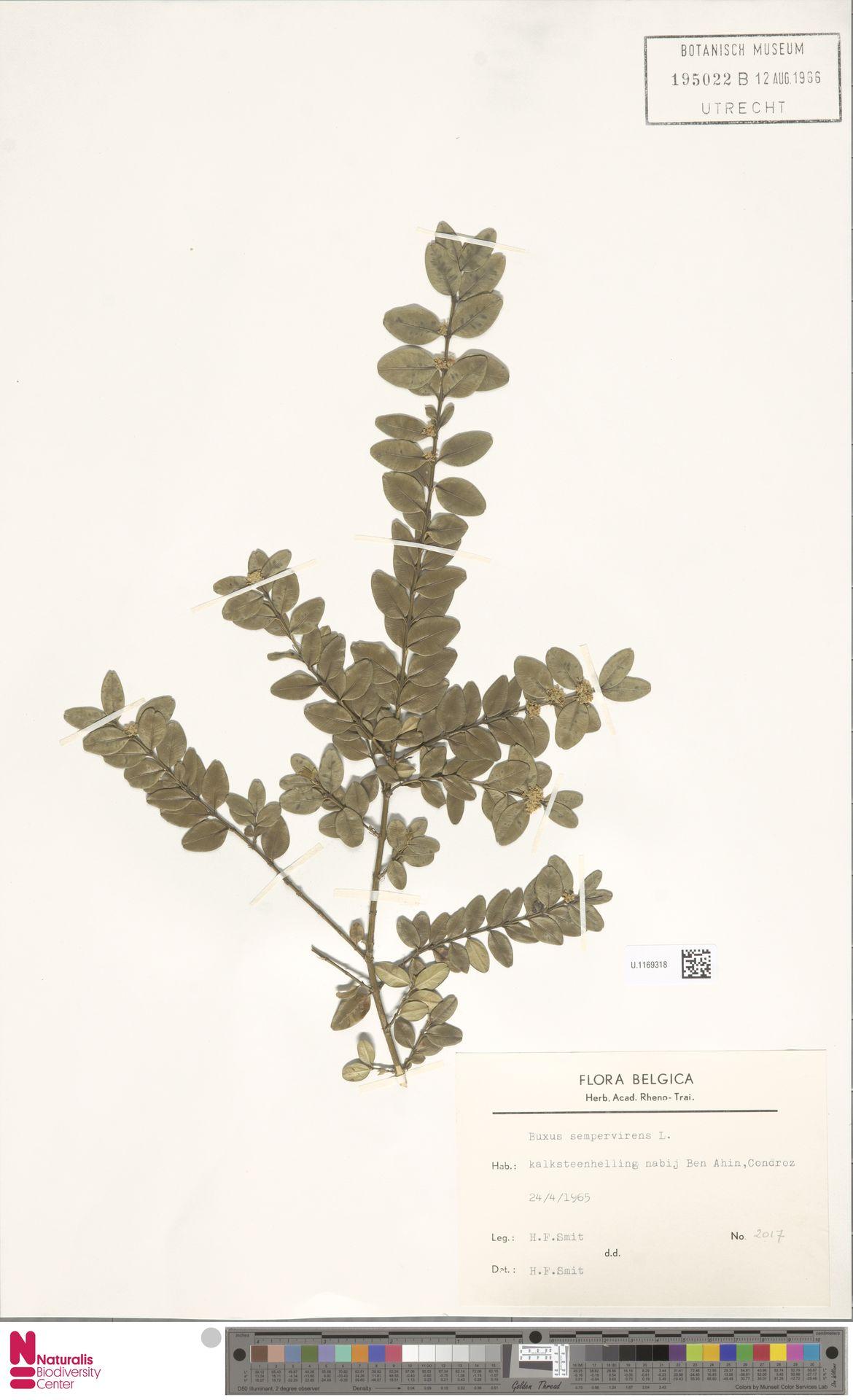 U.1169318   Buxus sempervirens L.