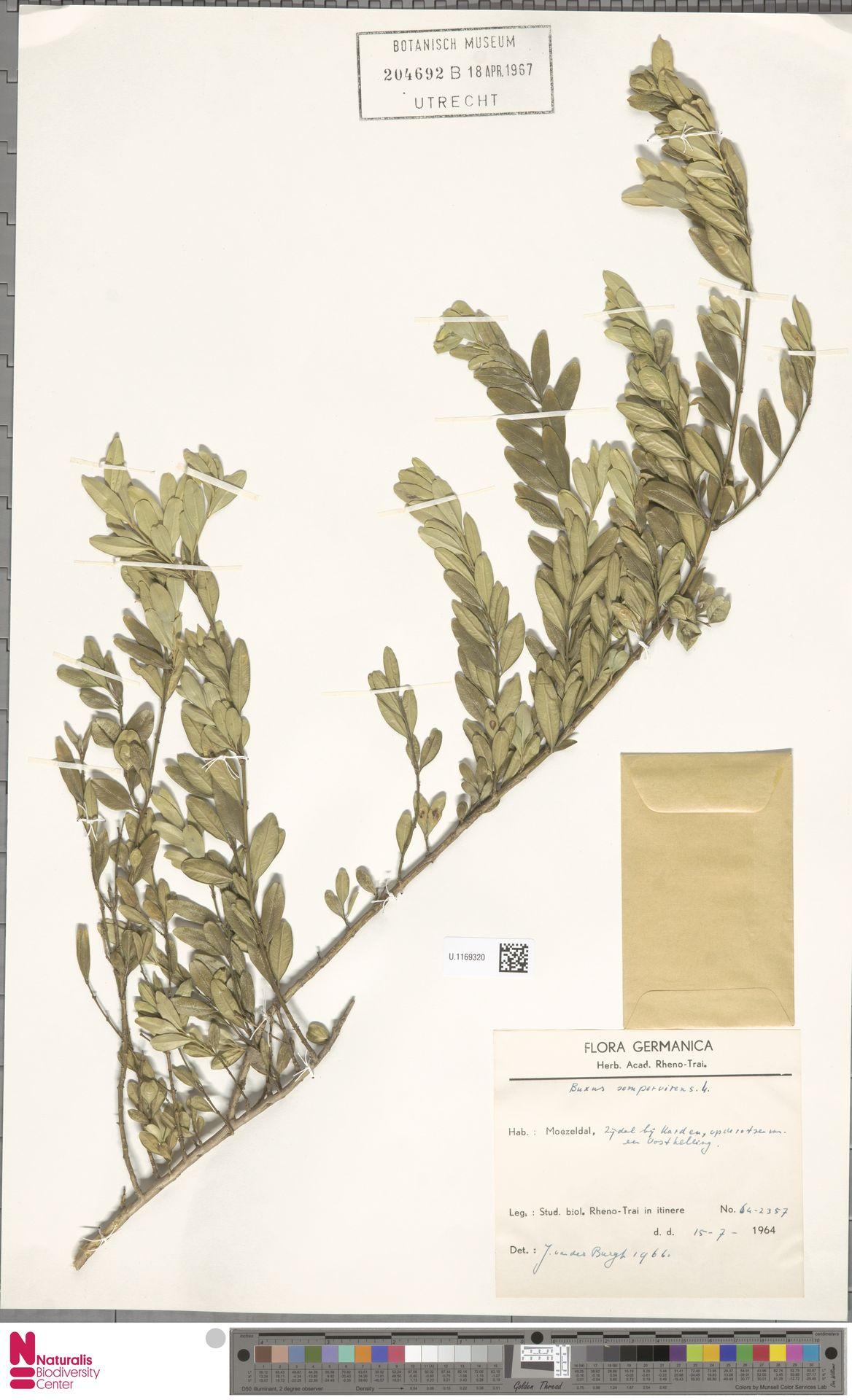 U.1169320 | Buxus sempervirens L.