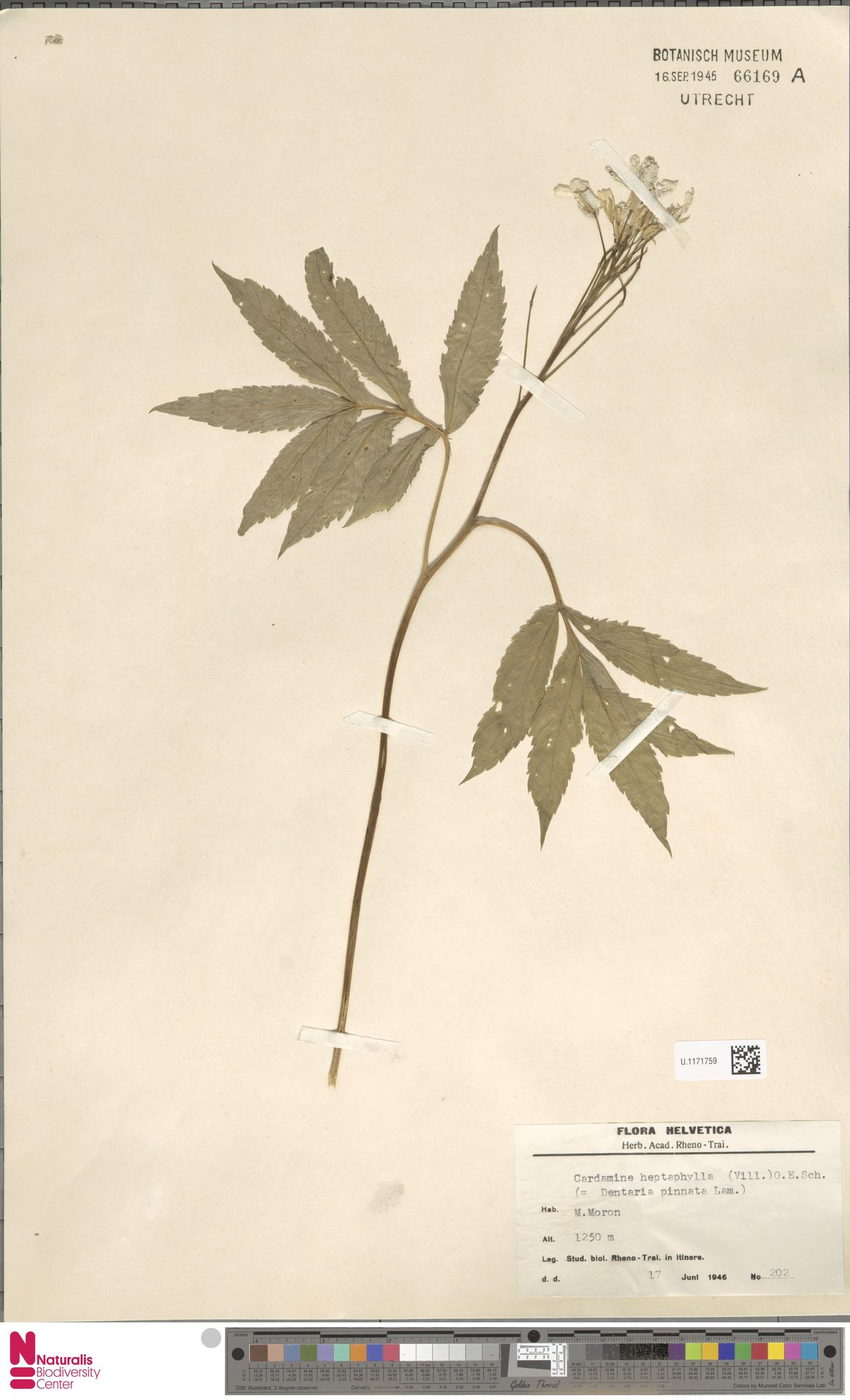 U.1171759   Cardamine heptaphylla (Vill.) O.E.Schulz