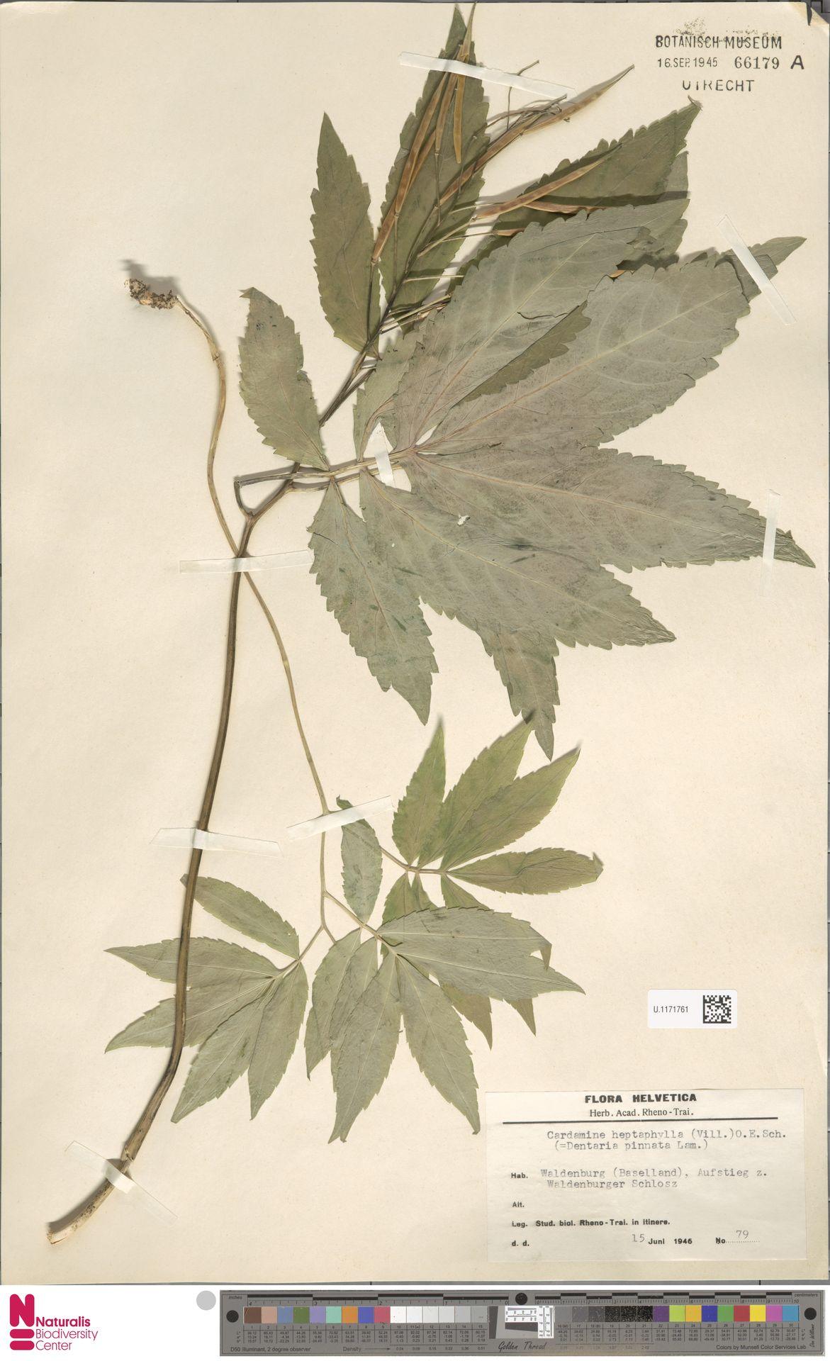 U.1171761   Cardamine heptaphylla (Vill.) O.E.Schulz