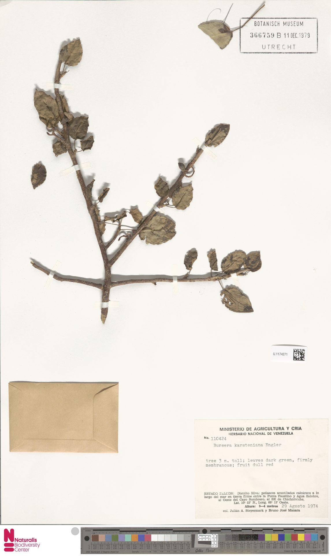 U.1174271   Bursera karsteniana Engl.