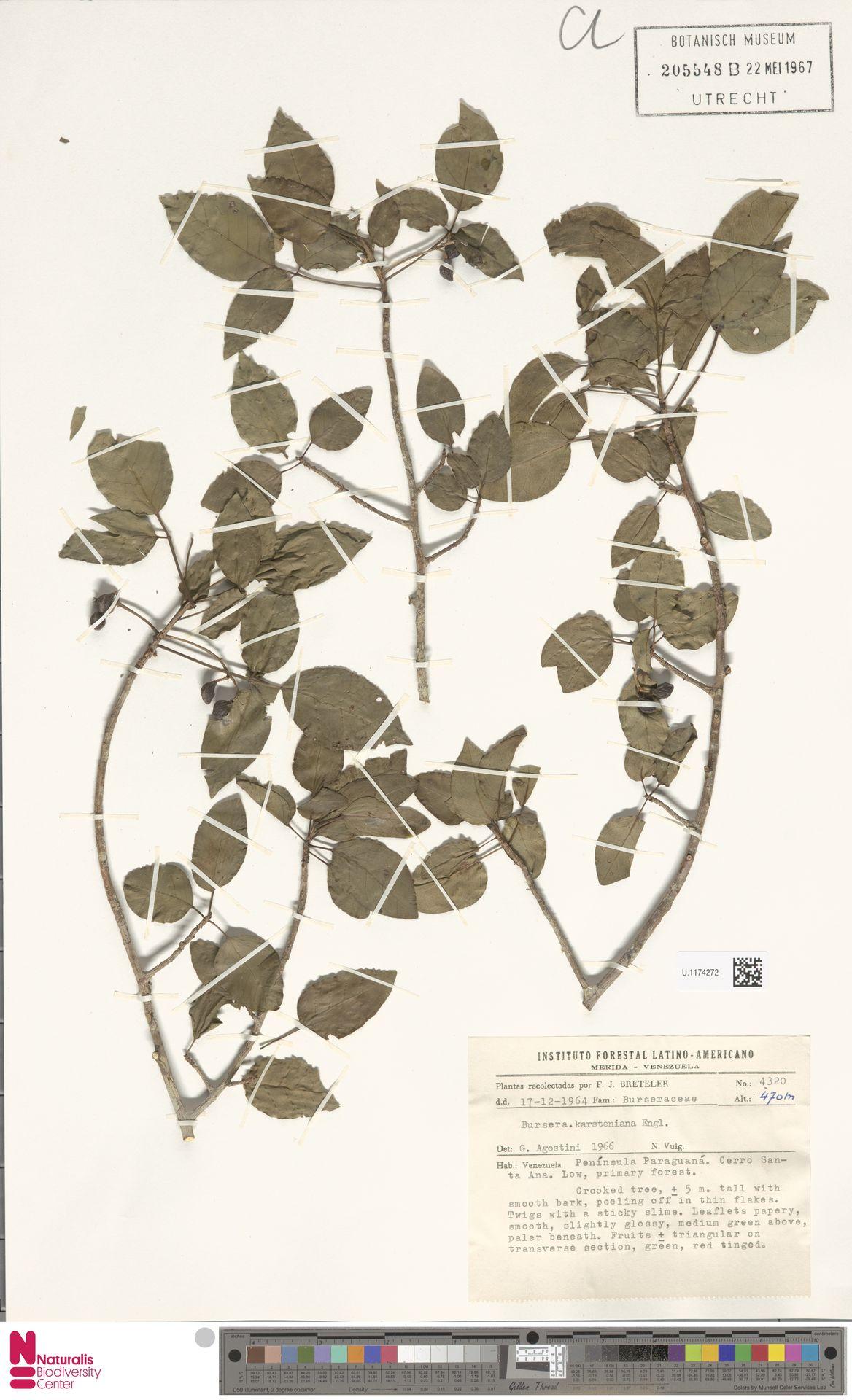 U.1174272   Bursera karsteniana Engl.