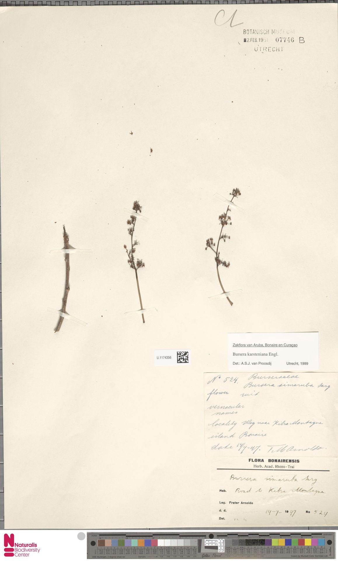 U.1174356 | Bursera karsteniana Engl.