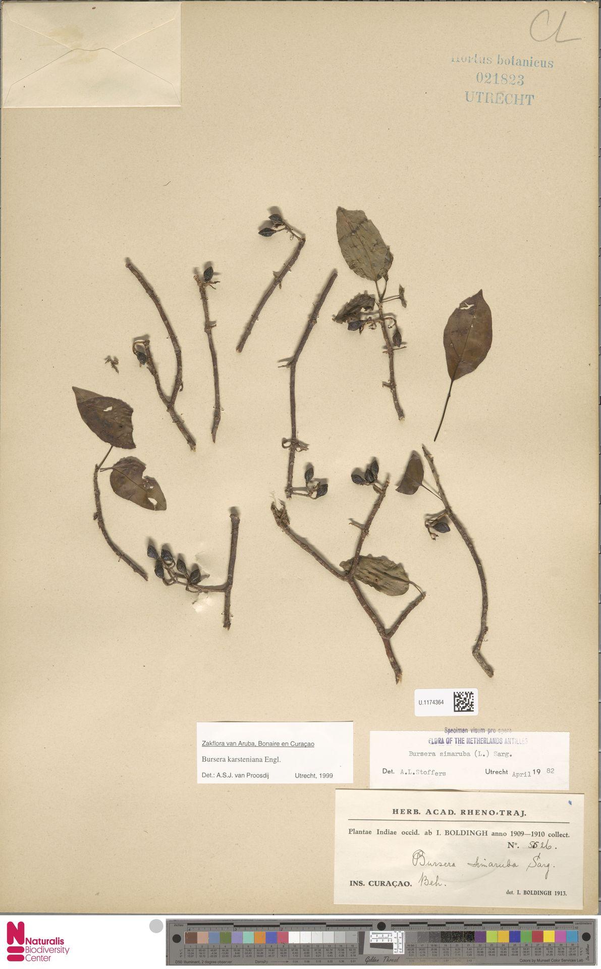 U.1174364 | Bursera karsteniana Engl.