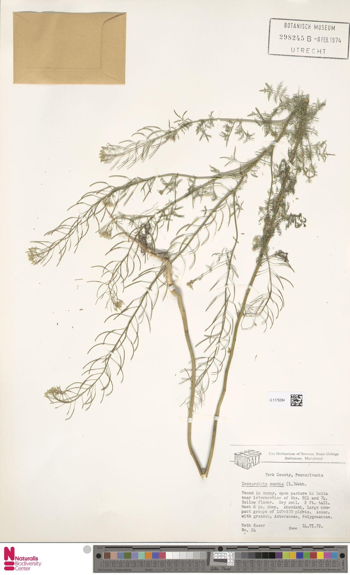 U.1175284 | Descurainia sophia (L.) Webb ex Prantl