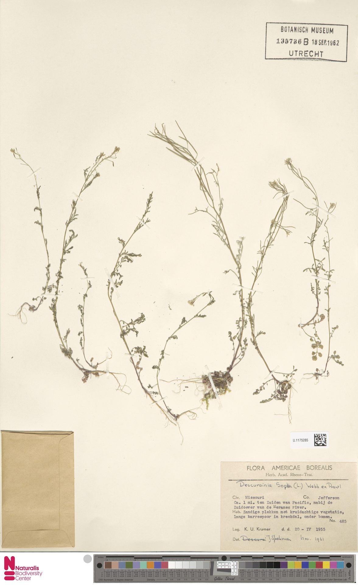 U.1175285 | Descurainia sophia (L.) Webb ex Prantl