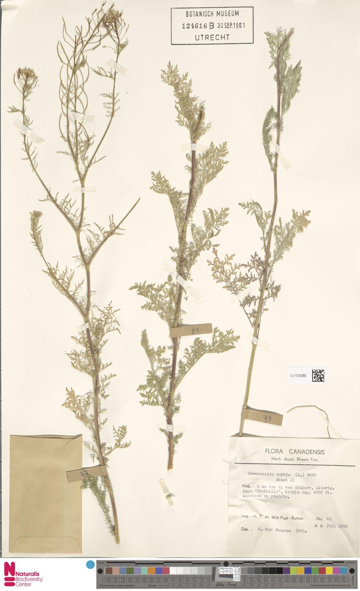 U.1175289 | Descurainia sophia (L.) Webb ex Prantl