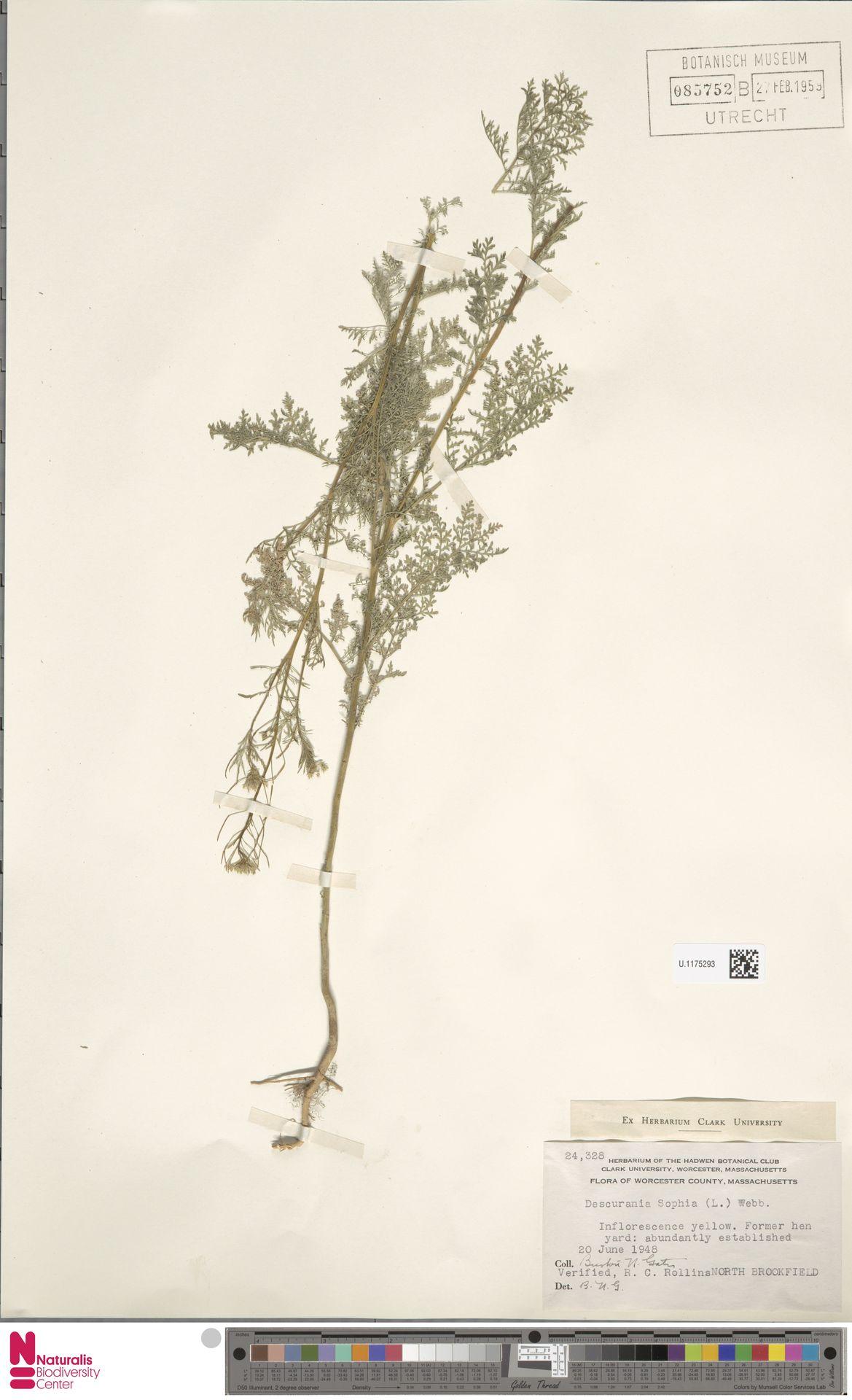 U.1175293 | Descurainia sophia (L.) Webb ex Prantl