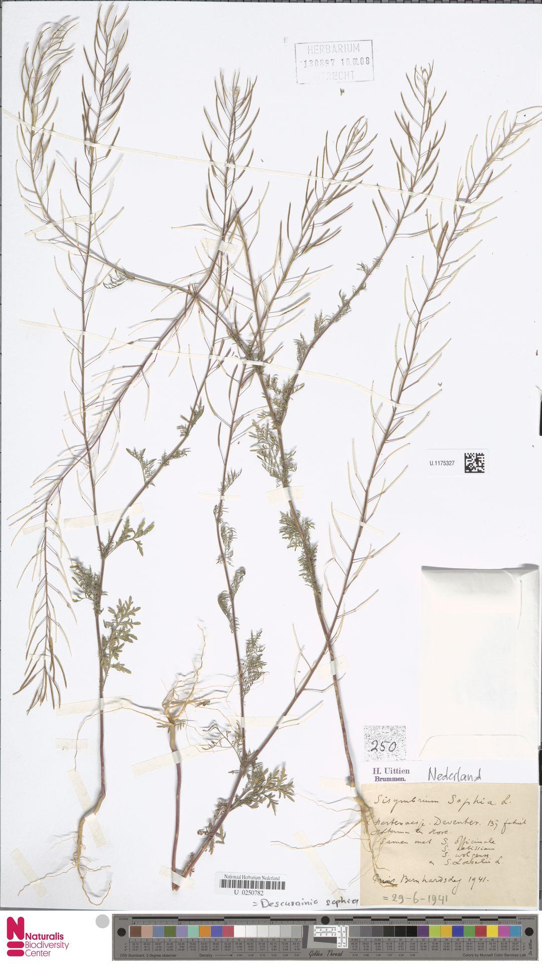 U.1175327 | Descurainia sophia (L.) Webb ex Prantl