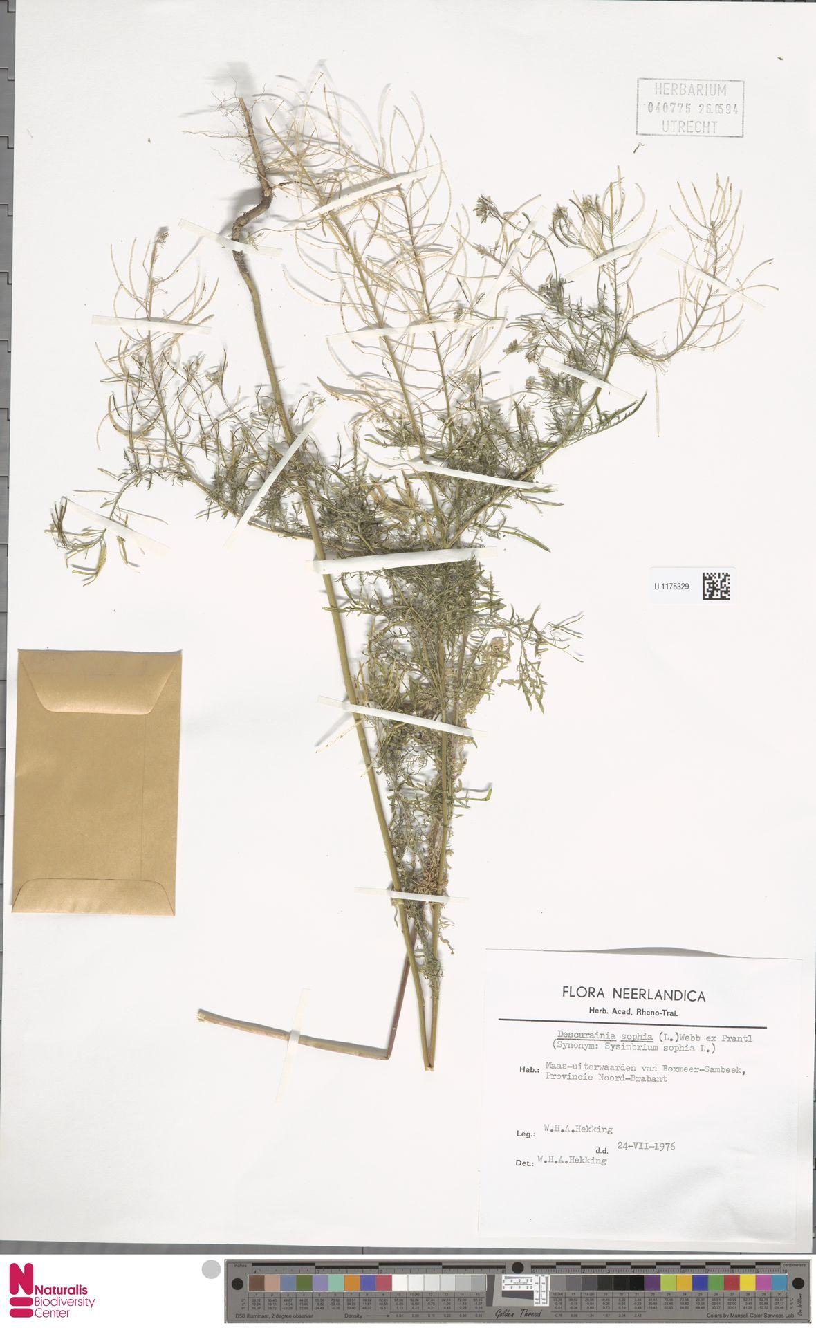 U.1175329   Descurainia sophia (L.) Webb ex Prantl