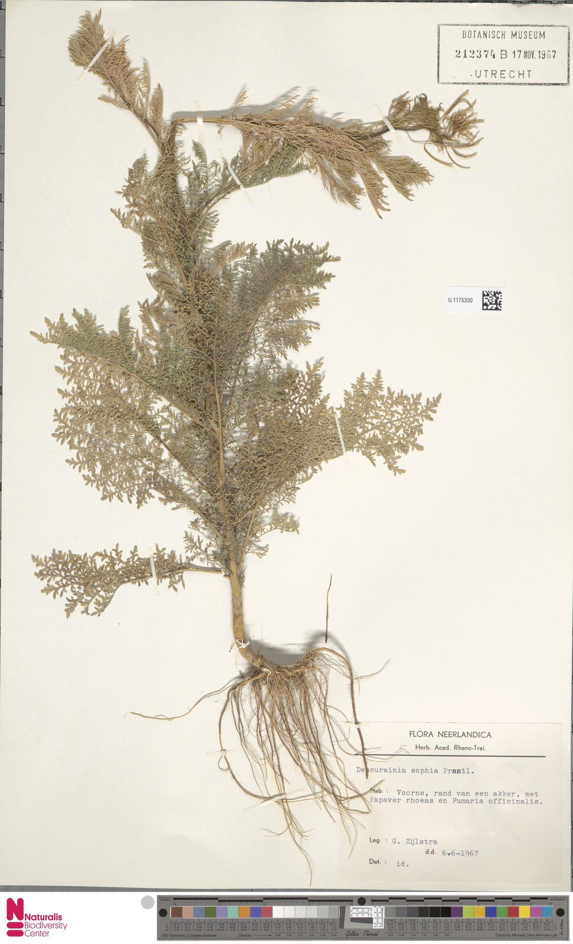 U.1175330 | Descurainia sophia (L.) Webb ex Prantl