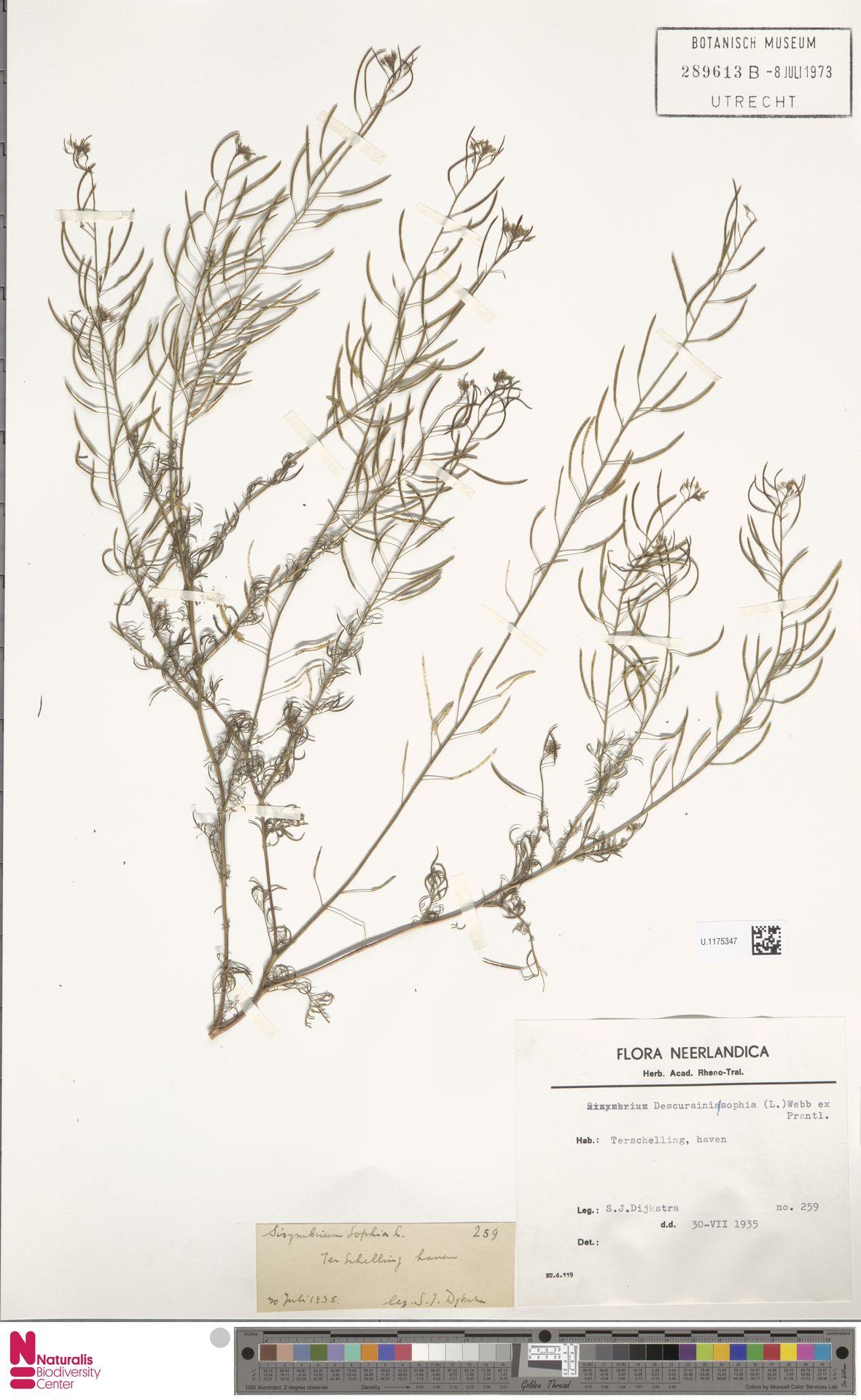 U.1175347   Descurainia sophia (L.) Webb ex Prantl