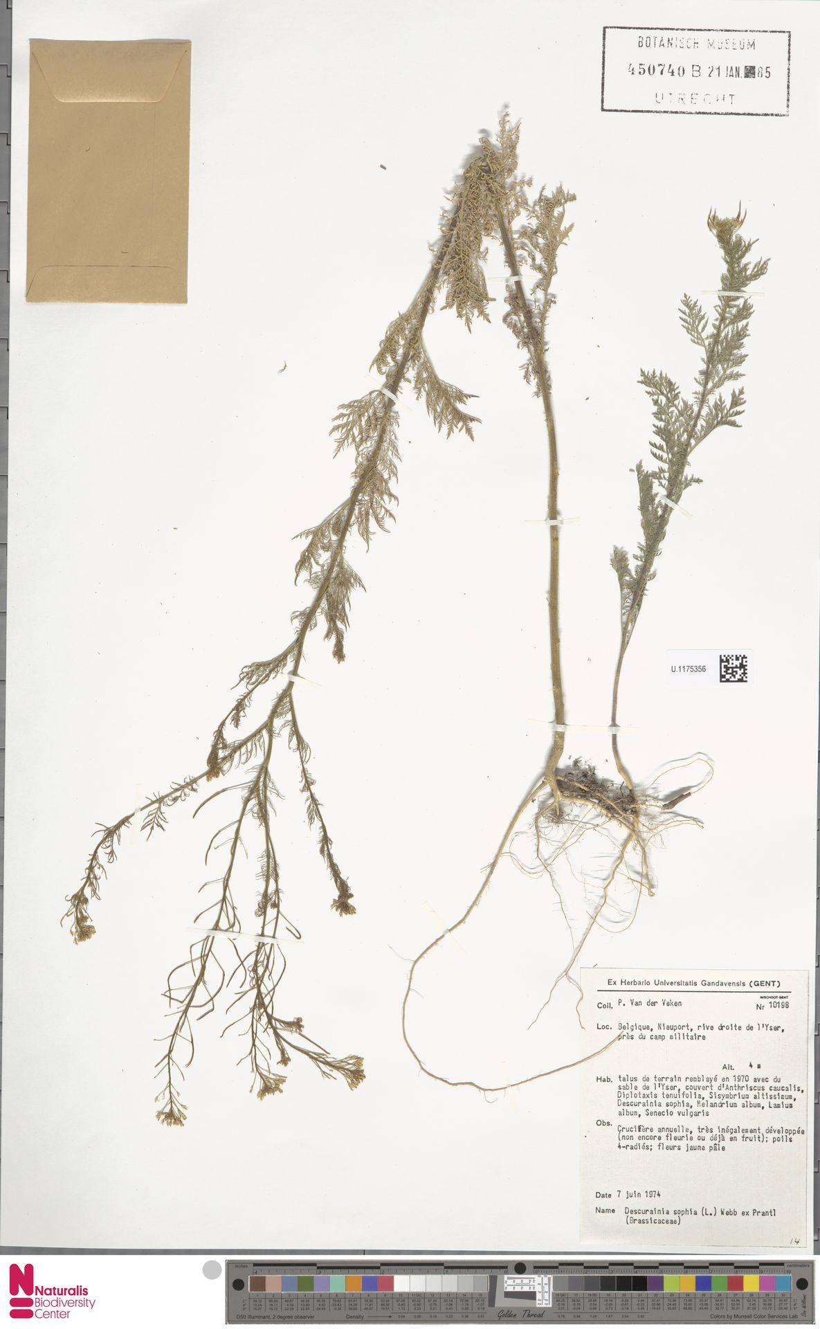 U.1175356 | Descurainia sophia (L.) Webb ex Prantl