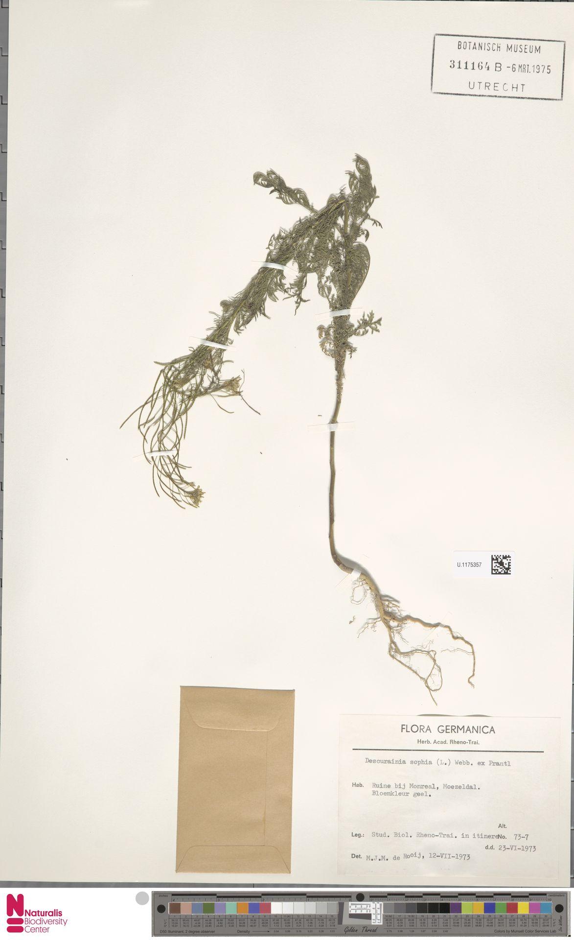 U.1175357   Descurainia sophia (L.) Webb ex Prantl