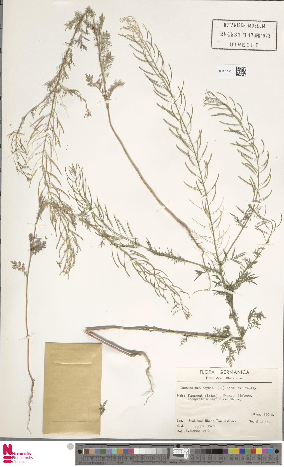 U.1175358 | Descurainia sophia (L.) Webb ex Prantl