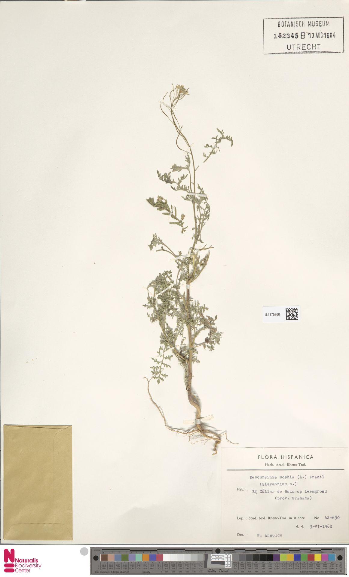 U.1175360 | Descurainia sophia (L.) Webb ex Prantl