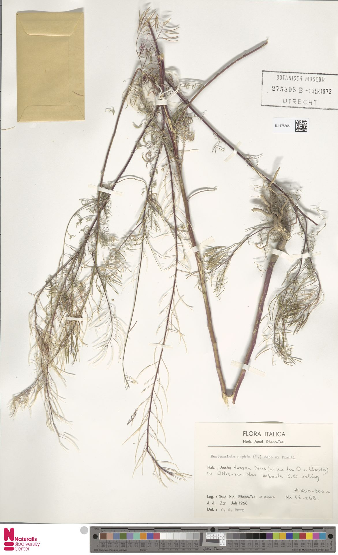 U.1175365 | Descurainia sophia (L.) Webb ex Prantl