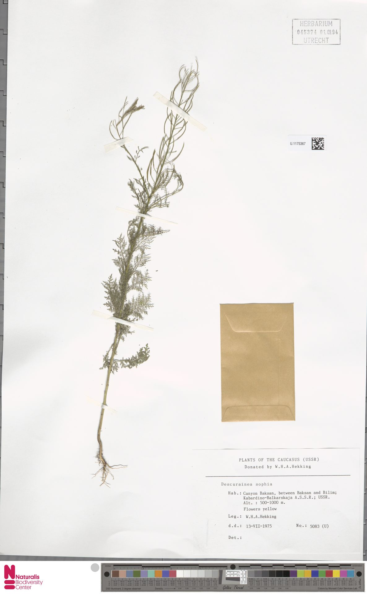 U.1175367 | Descurainia sophia (L.) Webb ex Prantl