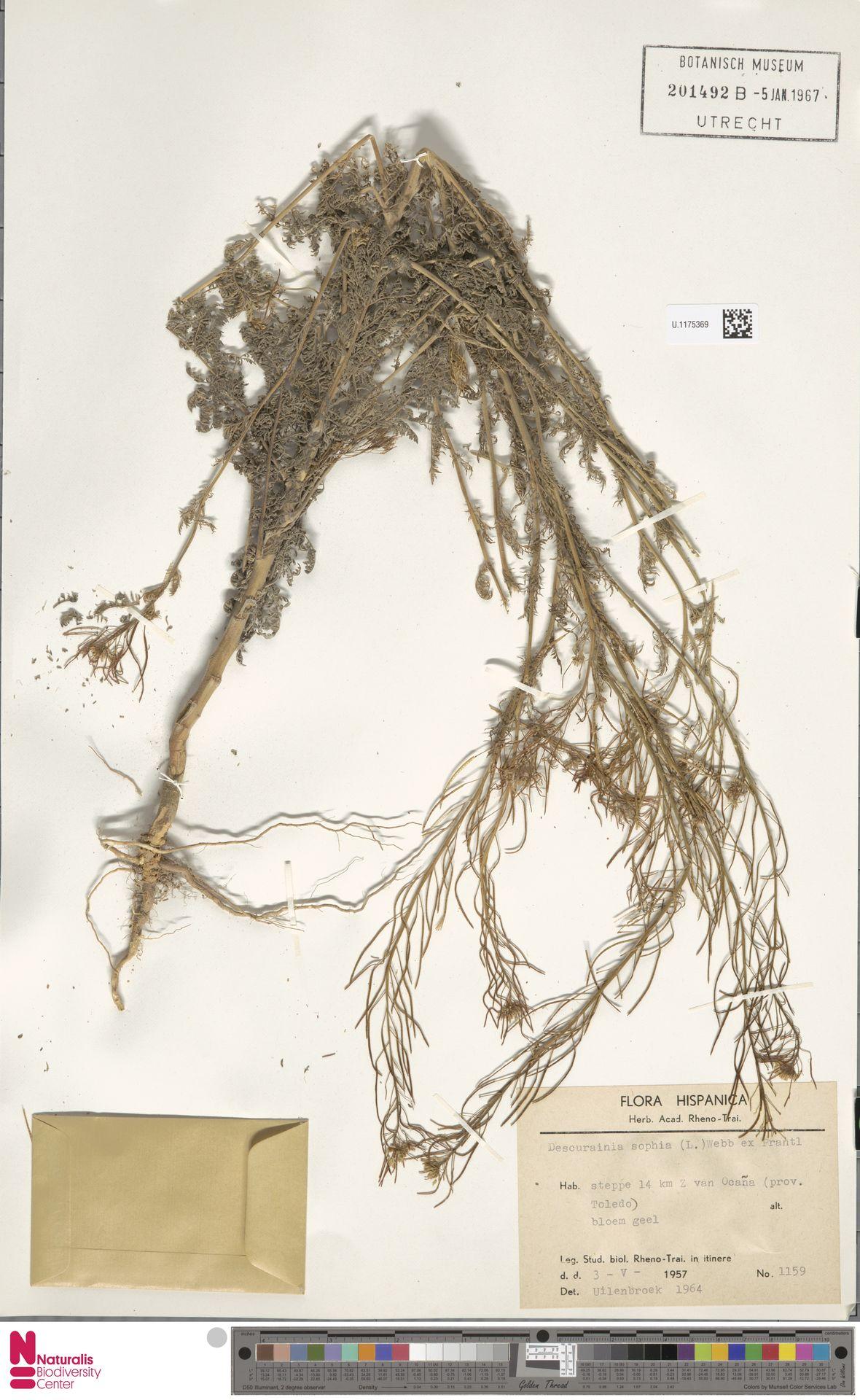 U.1175369 | Descurainia sophia (L.) Webb ex Prantl