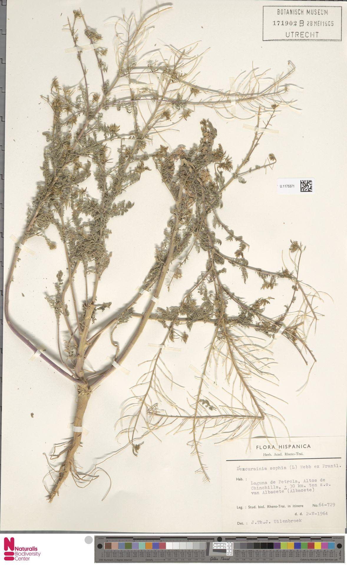 U.1175371 | Descurainia sophia (L.) Webb ex Prantl