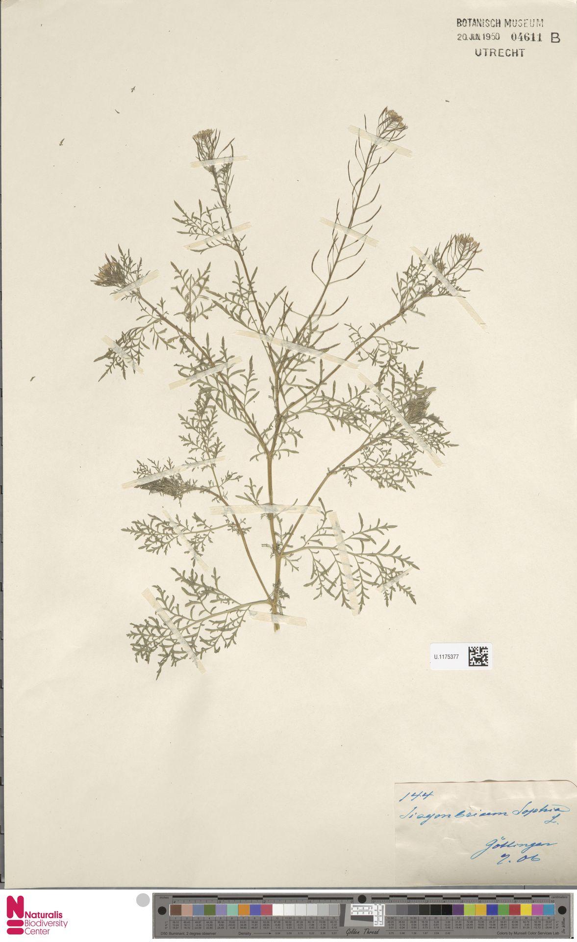 U.1175377 | Descurainia sophia (L.) Webb ex Prantl