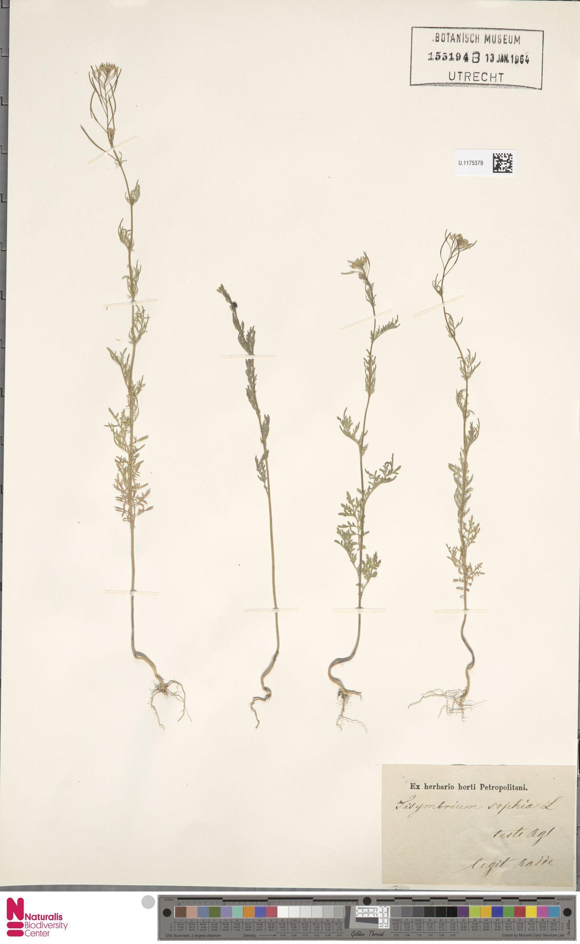 U.1175379 | Descurainia sophia (L.) Webb ex Prantl