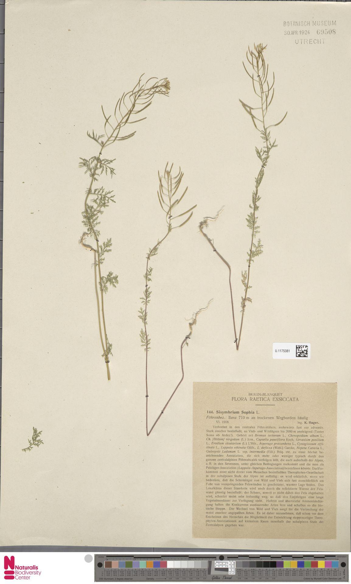 U.1175381 | Descurainia sophia (L.) Webb ex Prantl