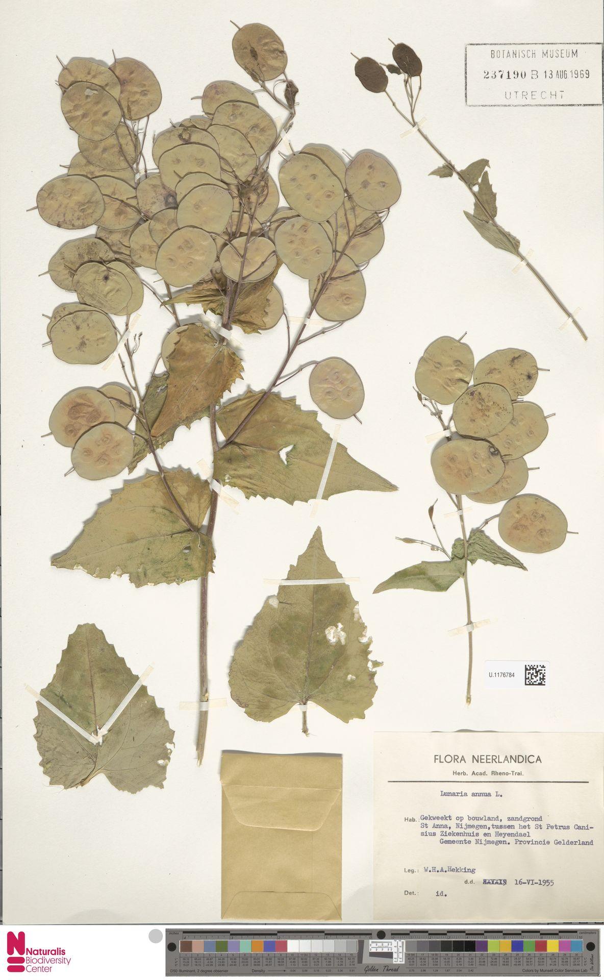 U.1176784 | Lunaria annua L.