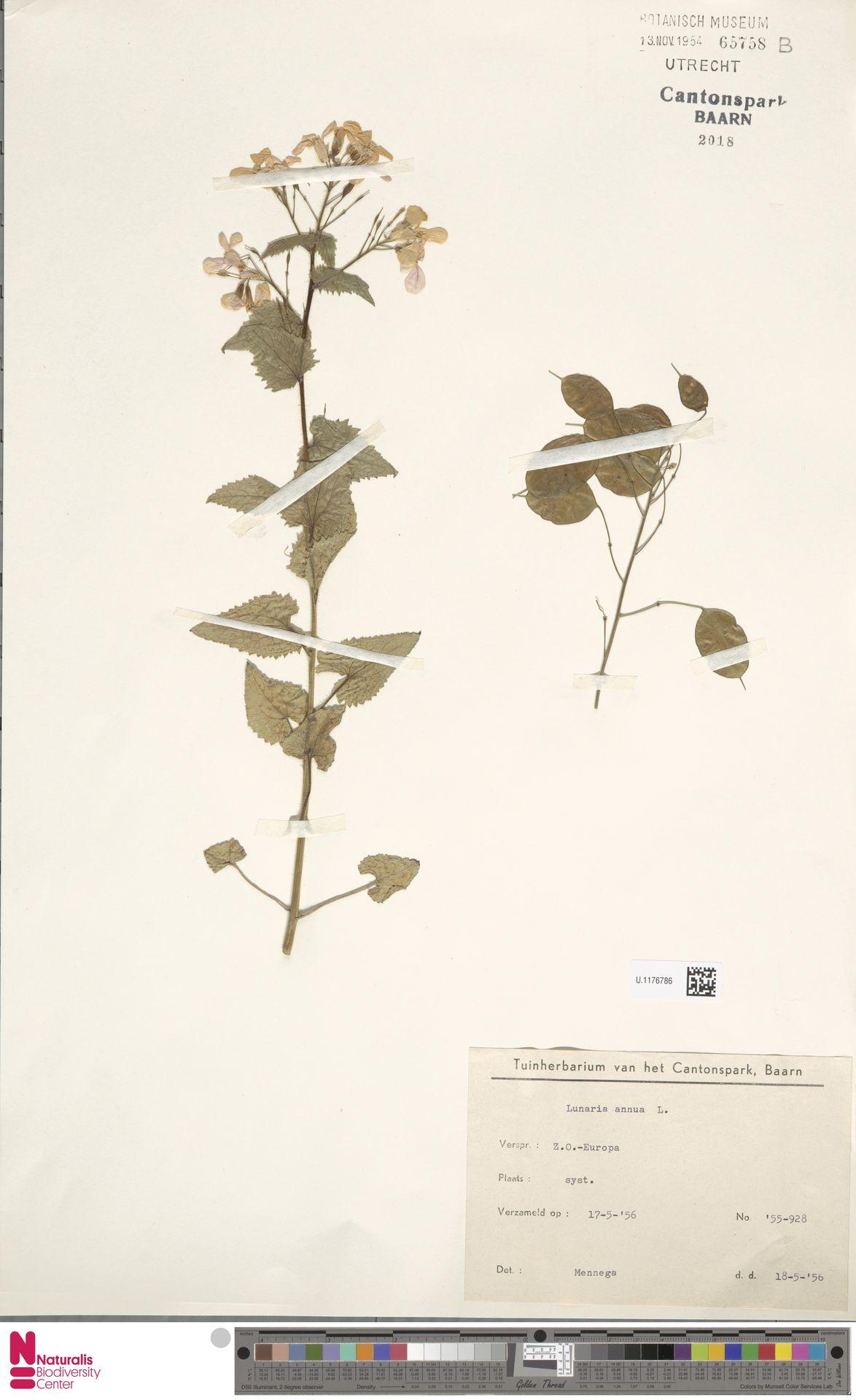 U.1176786 | Lunaria annua L.