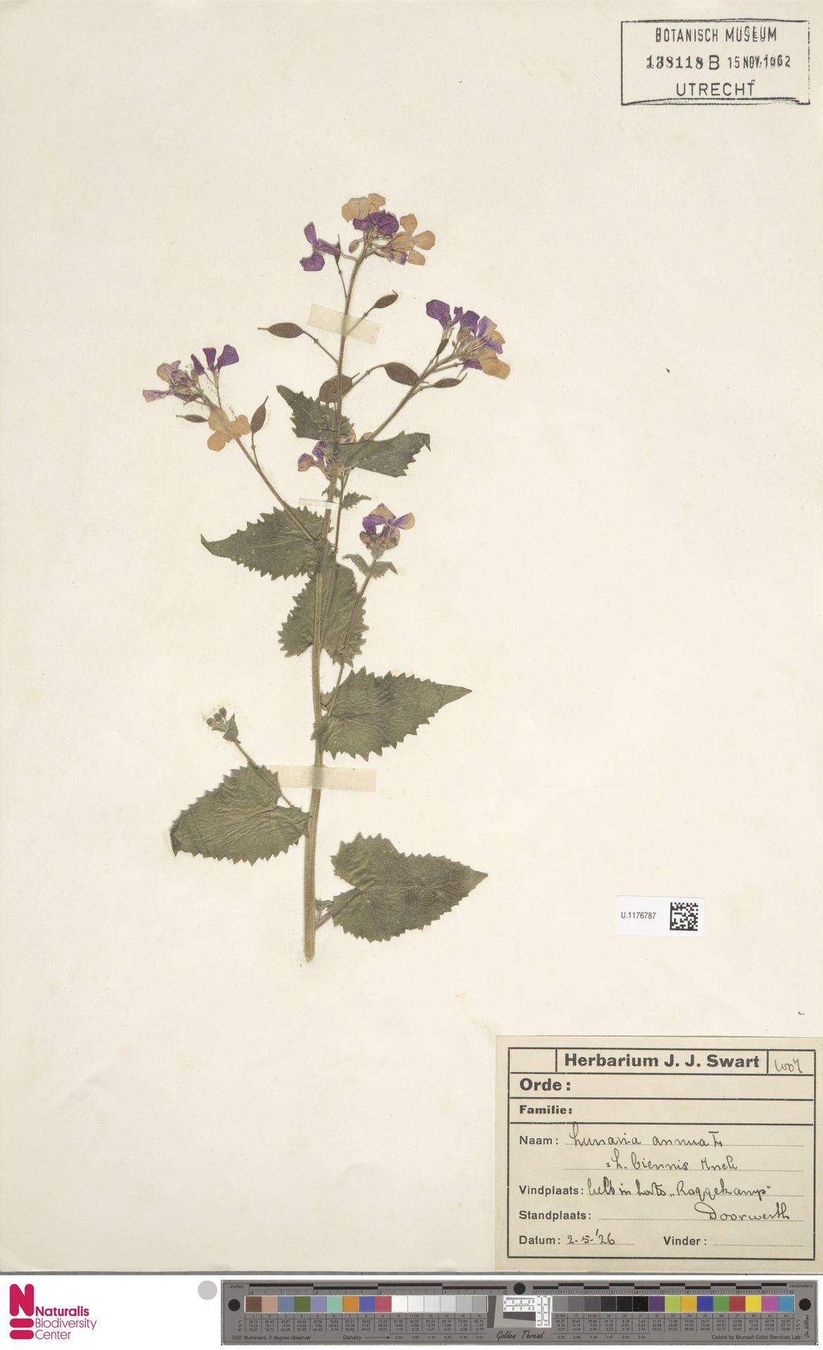 U.1176787 | Lunaria annua L.