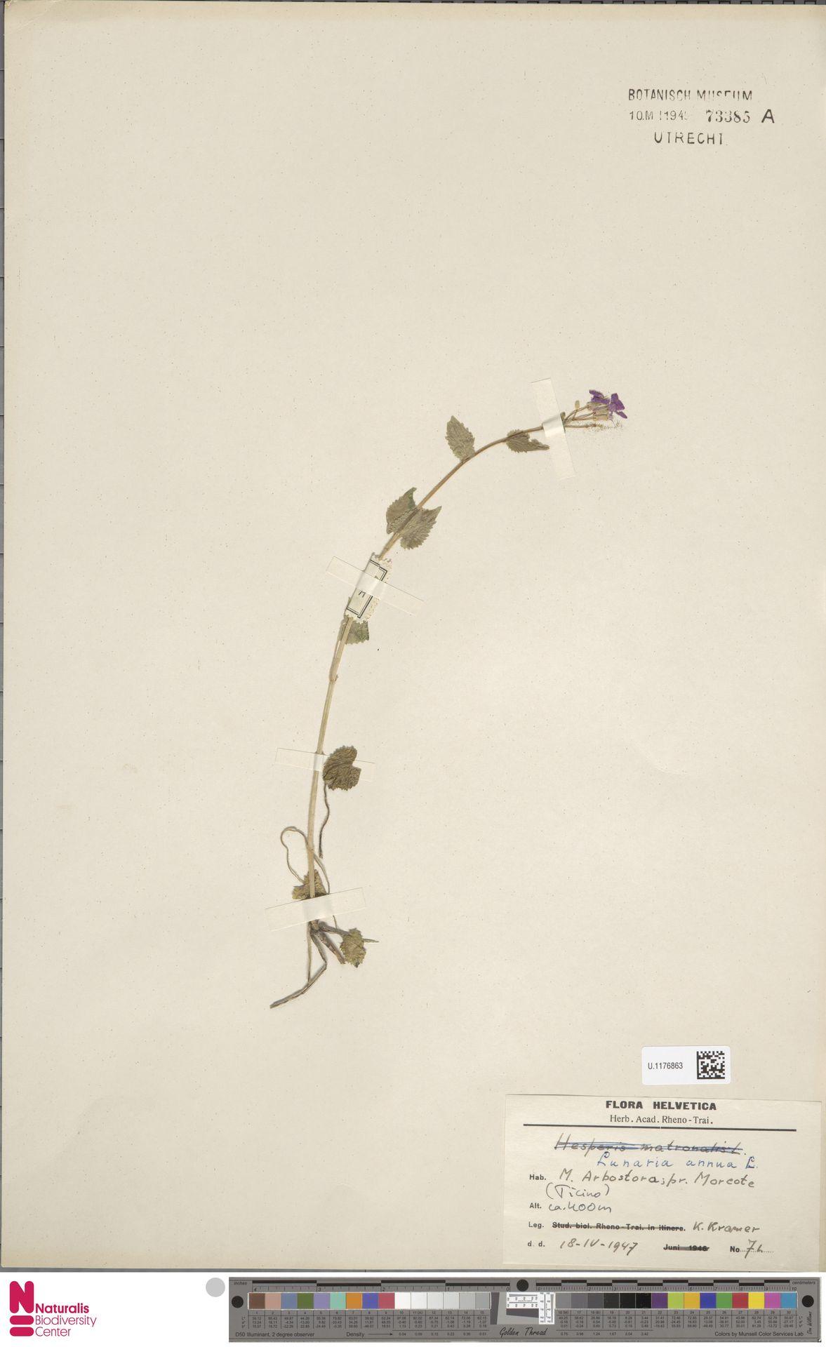 U.1176863 | Lunaria annua L.