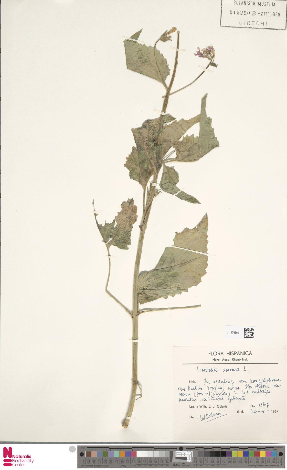 U.1176864   Lunaria annua L.
