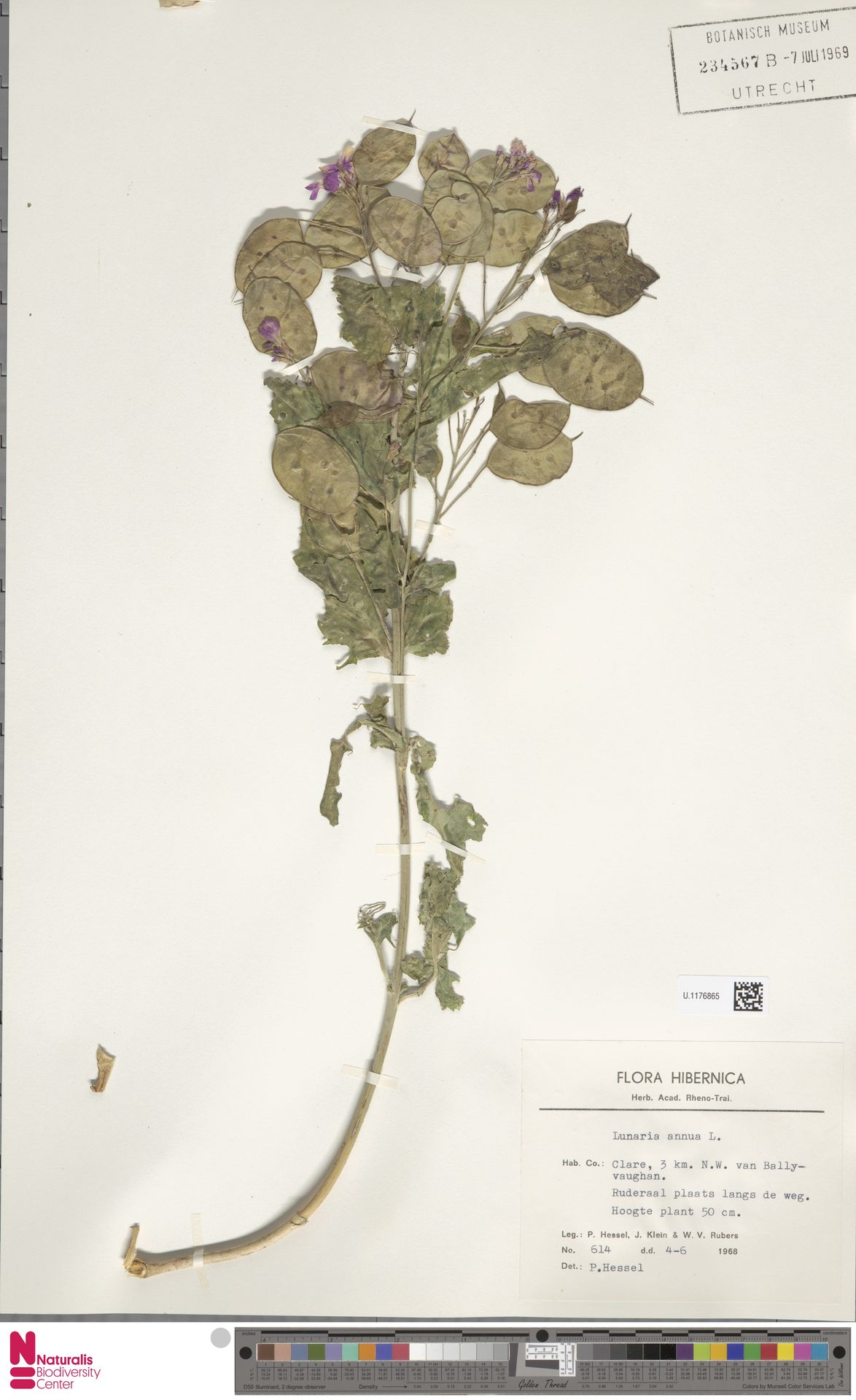 U.1176865 | Lunaria annua L.