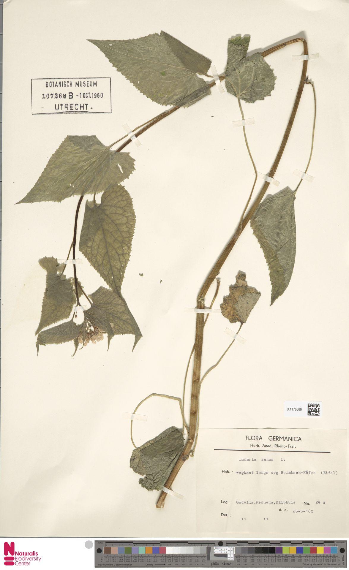 U.1176866 | Lunaria annua L.