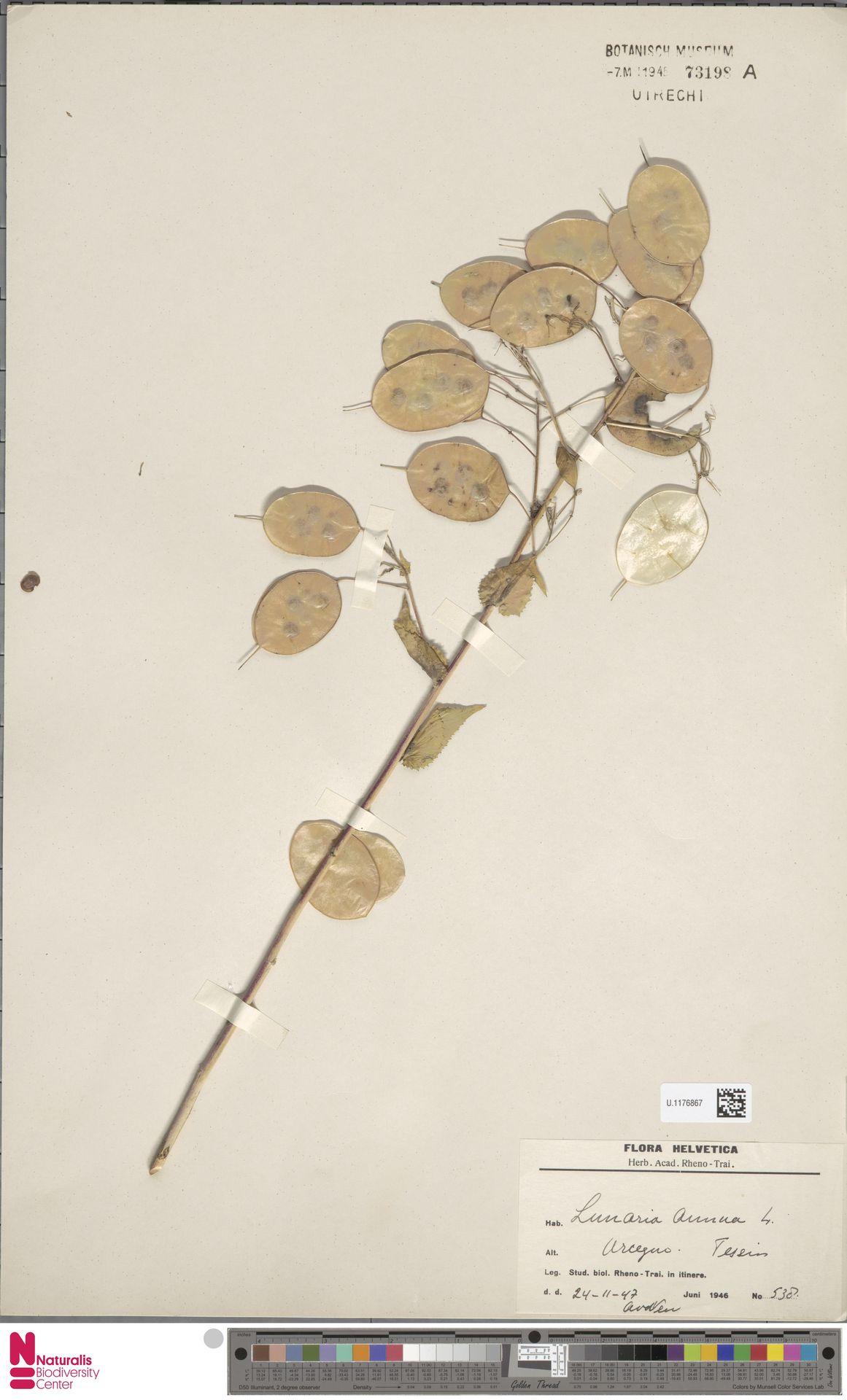 U.1176867 | Lunaria annua L.