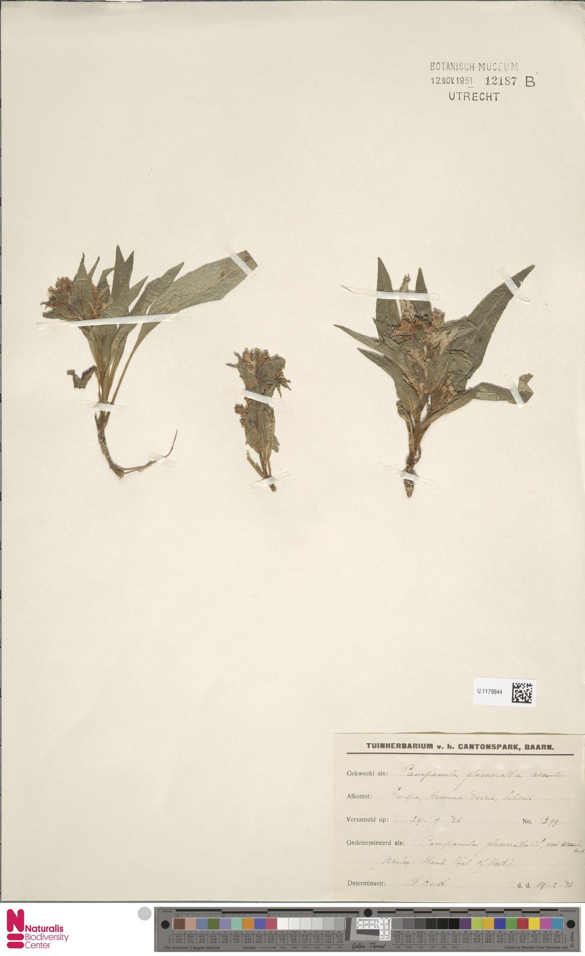 U.1179944 | Campanula glomerata L.