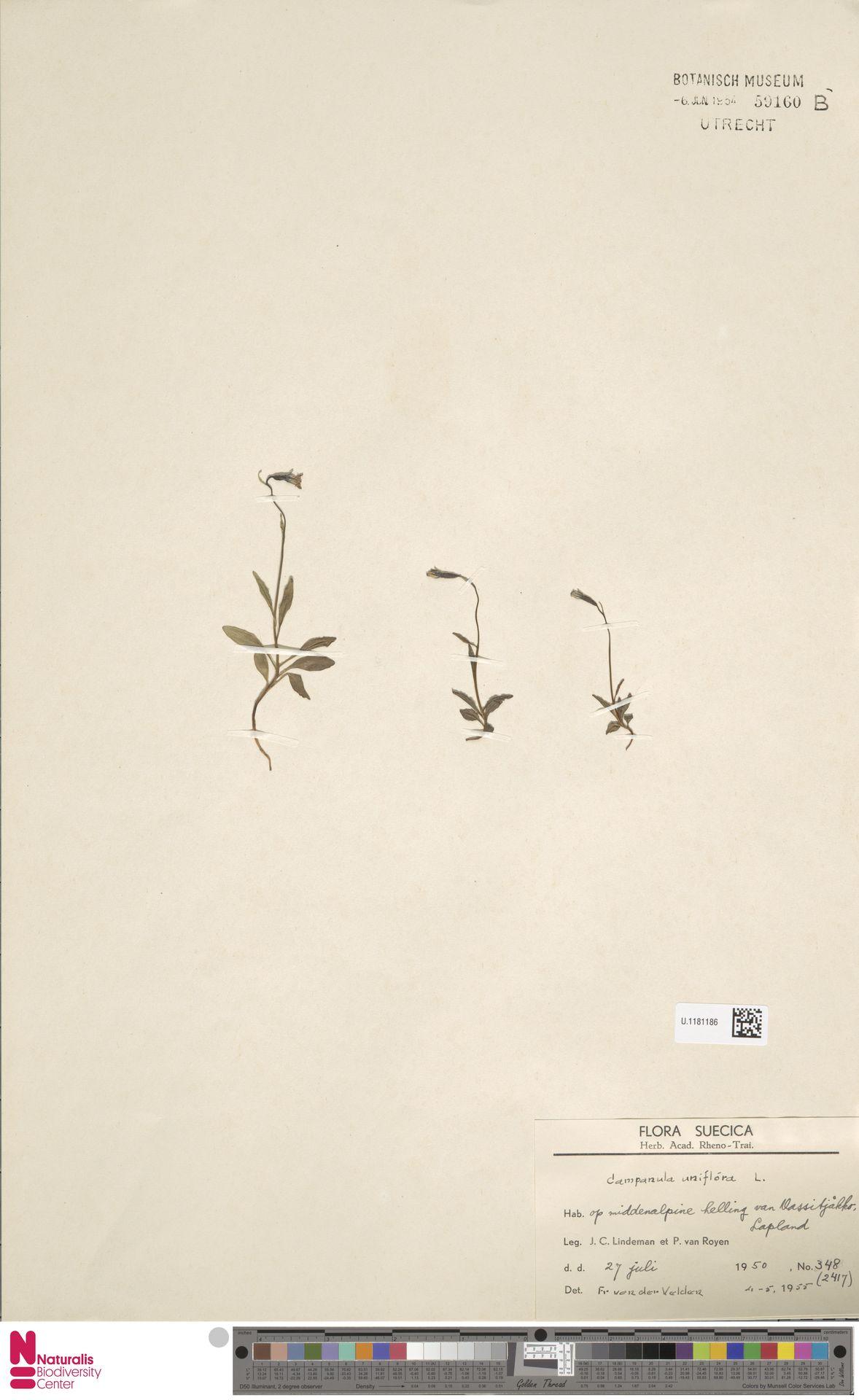 U.1181186   Campanula uniflora L.
