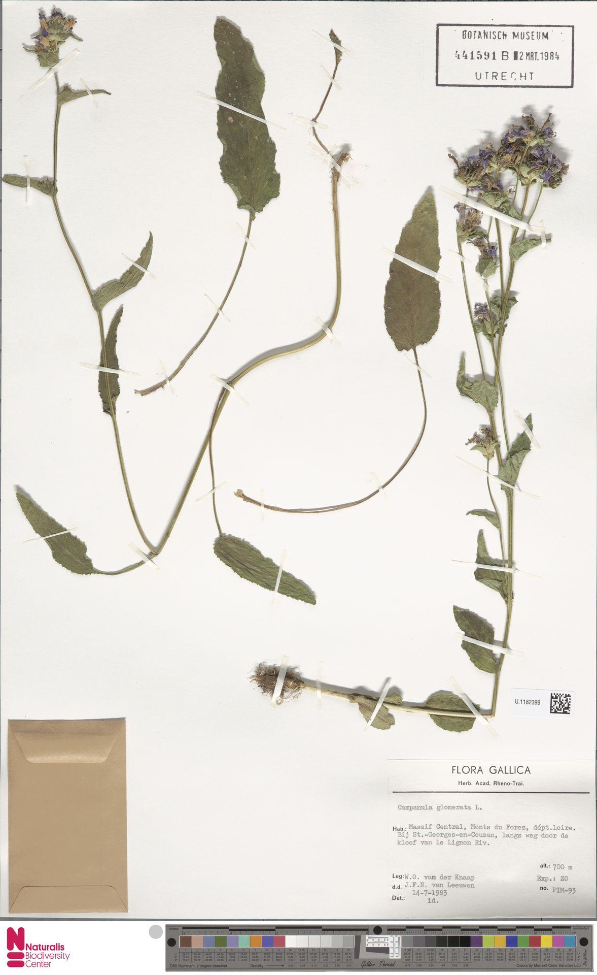 U.1182399   Campanula glomerata L.