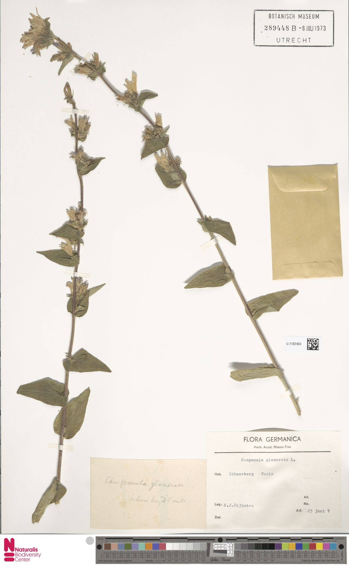 U.1182404 | Campanula glomerata L.