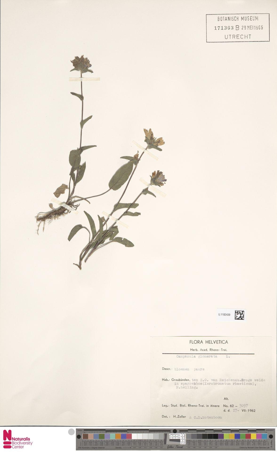 U.1182439 | Campanula glomerata L.