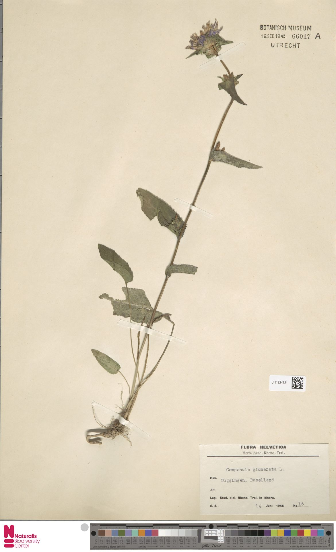 U.1182452   Campanula glomerata L.