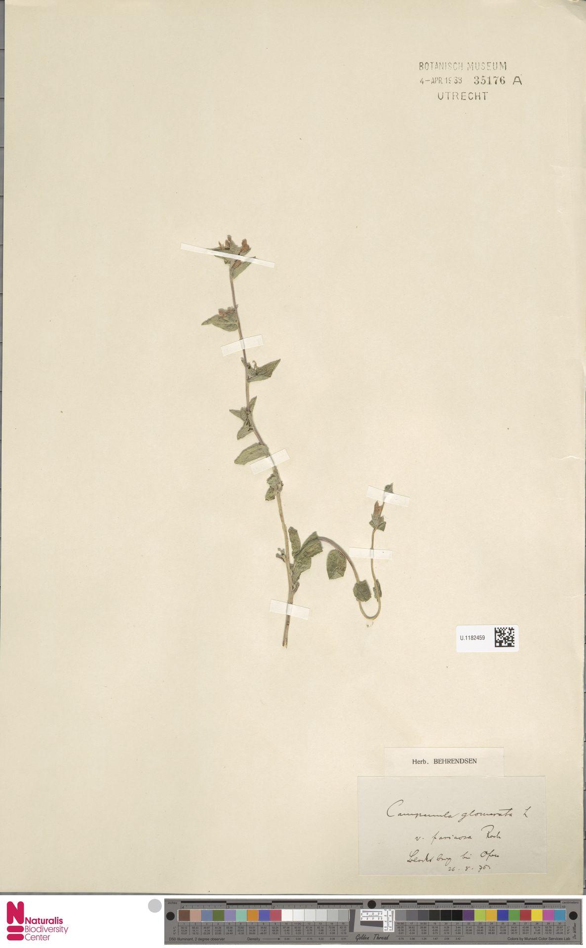 U.1182459   Campanula glomerata L.